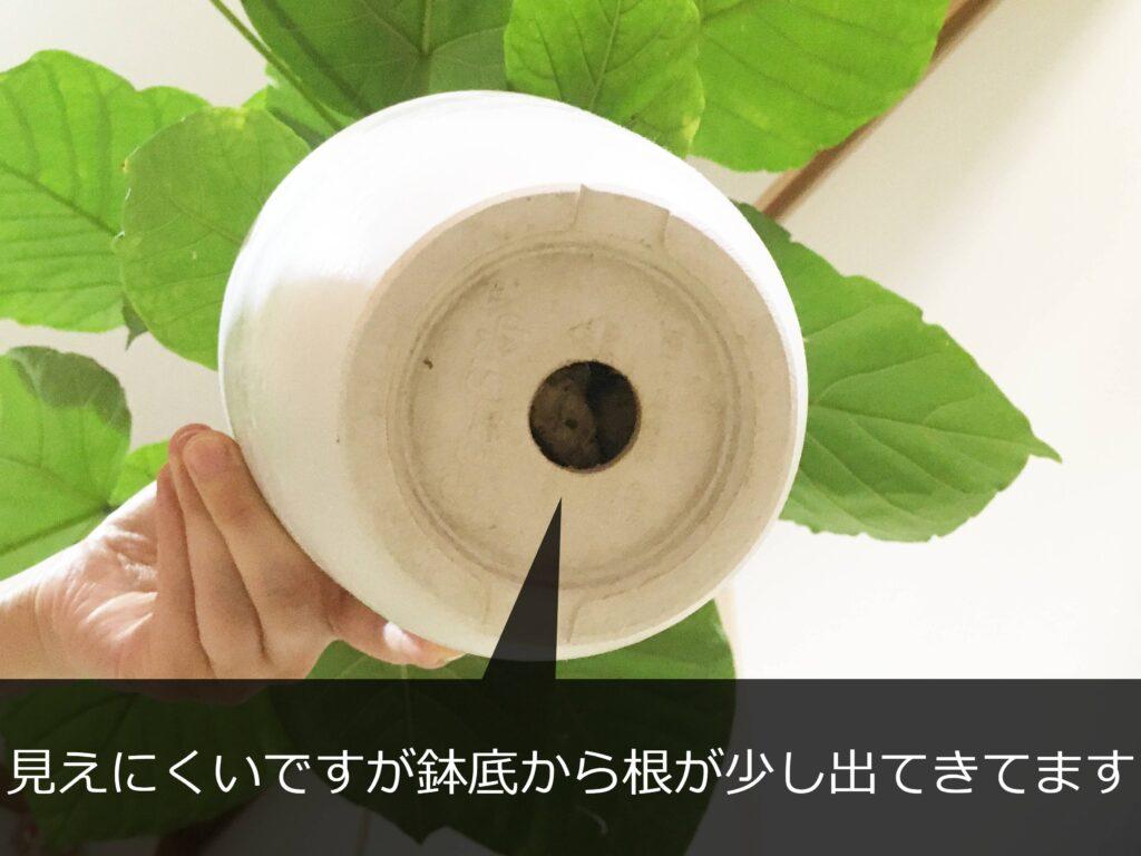 ウンベラータの鉢底