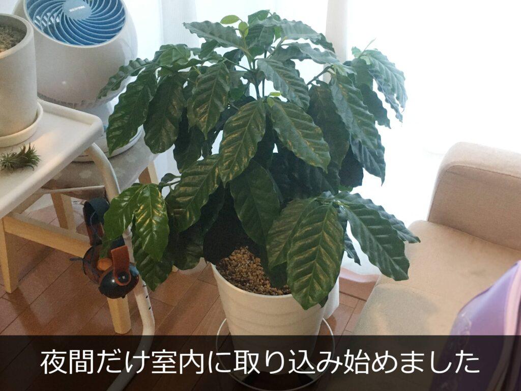 室内に取り込んだコーヒーの木
