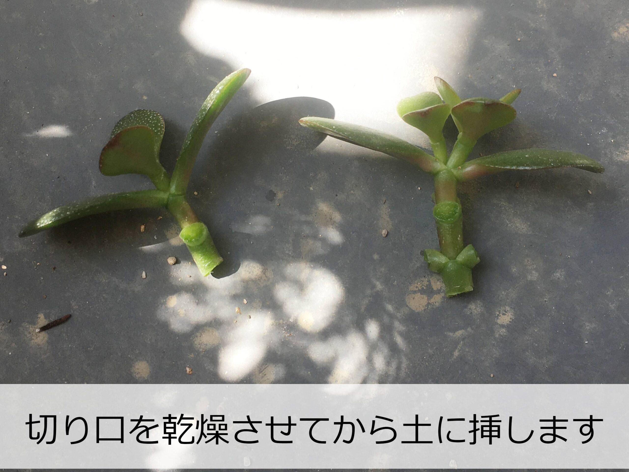 カネノナルキの挿し穂